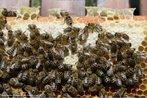 Imagem em que � poss�vel observar abelhas trabalhando em seus casulos hexagonais. Com esta imagem, o Professor pode trabalhar a rela��o entre elementos da Matem�tica e a natureza, bem como a possibilidade de se construir mosaicos com hex�gonos regulares.